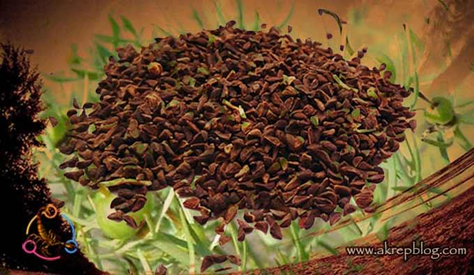 Üzerlik tohumu ve üzerlik otunun genel özellikleri